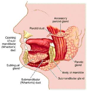 figure1 salivary glands